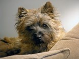 Red Cairn Terrier