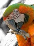 Harlequin Macaw Foot